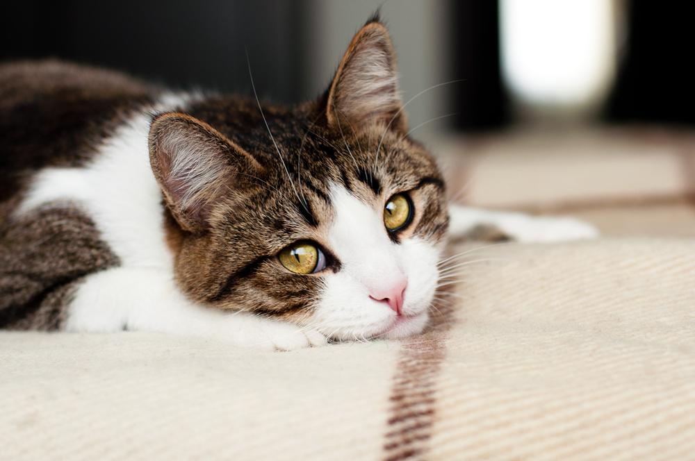 01.FELIWAY Por qué mi gato hace pis 5