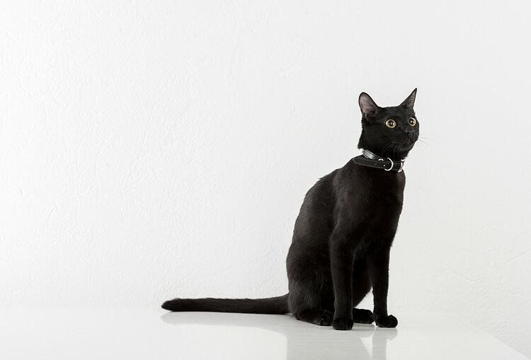 one in 22 cats is truly a black cat
