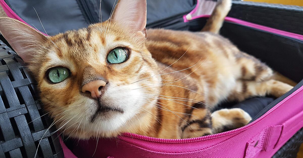 3. Consejos para calmar a tu gato durante los viajes_1