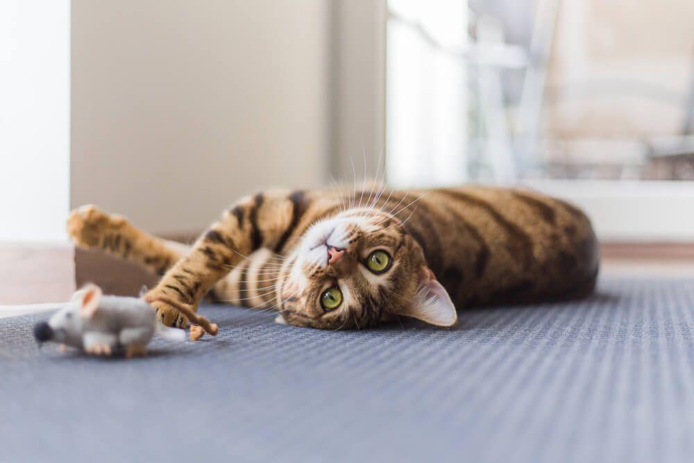 4 consejos para mantener a tu gato activo y saludable_3