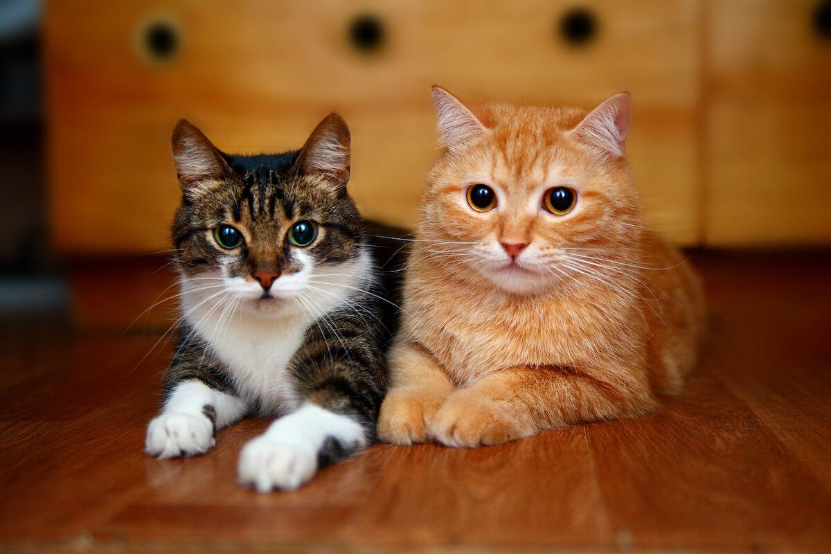 4. Feliway_BLOG_quienes_son_estos_gatos 3