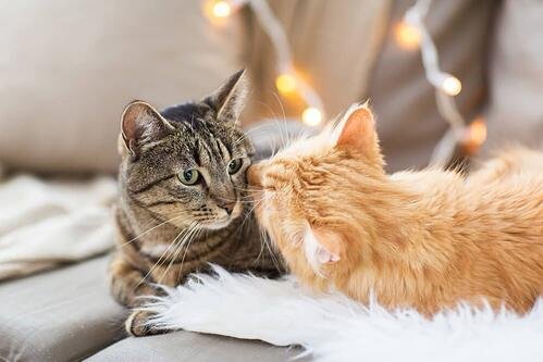 ginger cat greets another cat