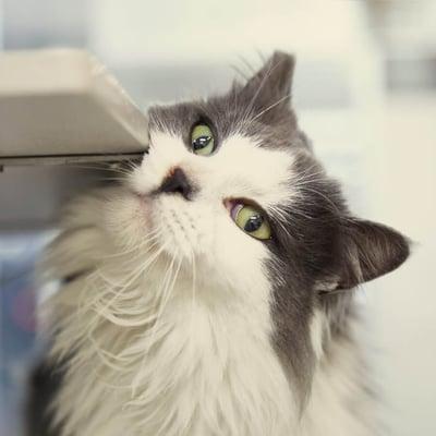 Katt gnider sitt ansikte mot möbel