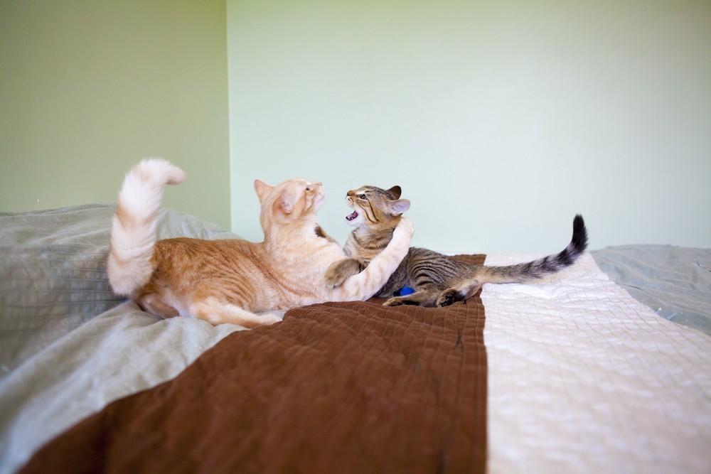BLOG Feliway_Preguntas sobre rivalidad entre gatos 2