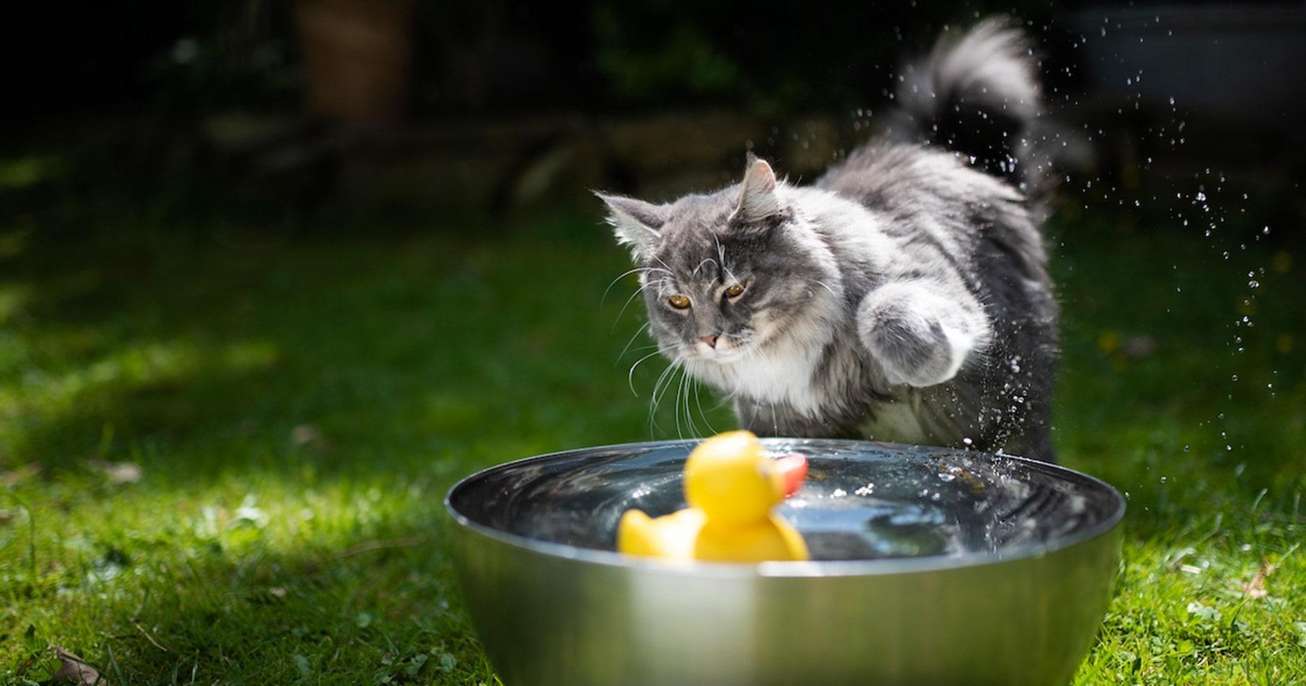 Katze spielt mit dem Wasser und einer Spielzeugente