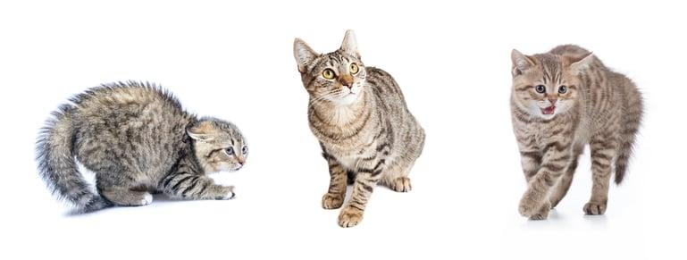 Lichamelijke tekenen van angst bij katten