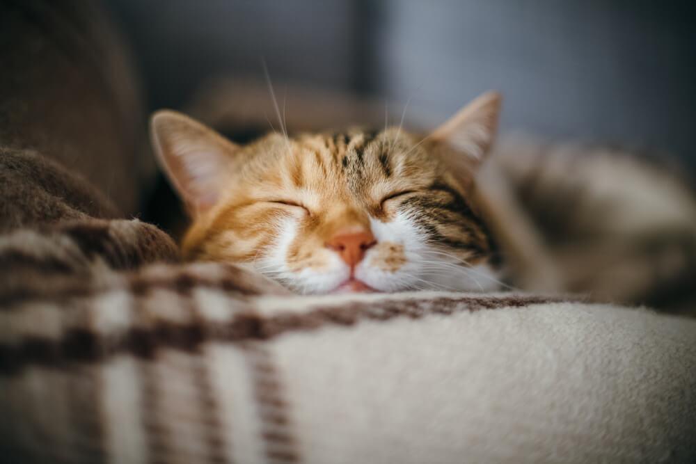 Kopf von Katze am Sofa angelehnt mit geschlossenen Augen