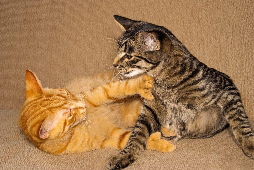 Cómo saber si tus gatos pelean o juegan_3