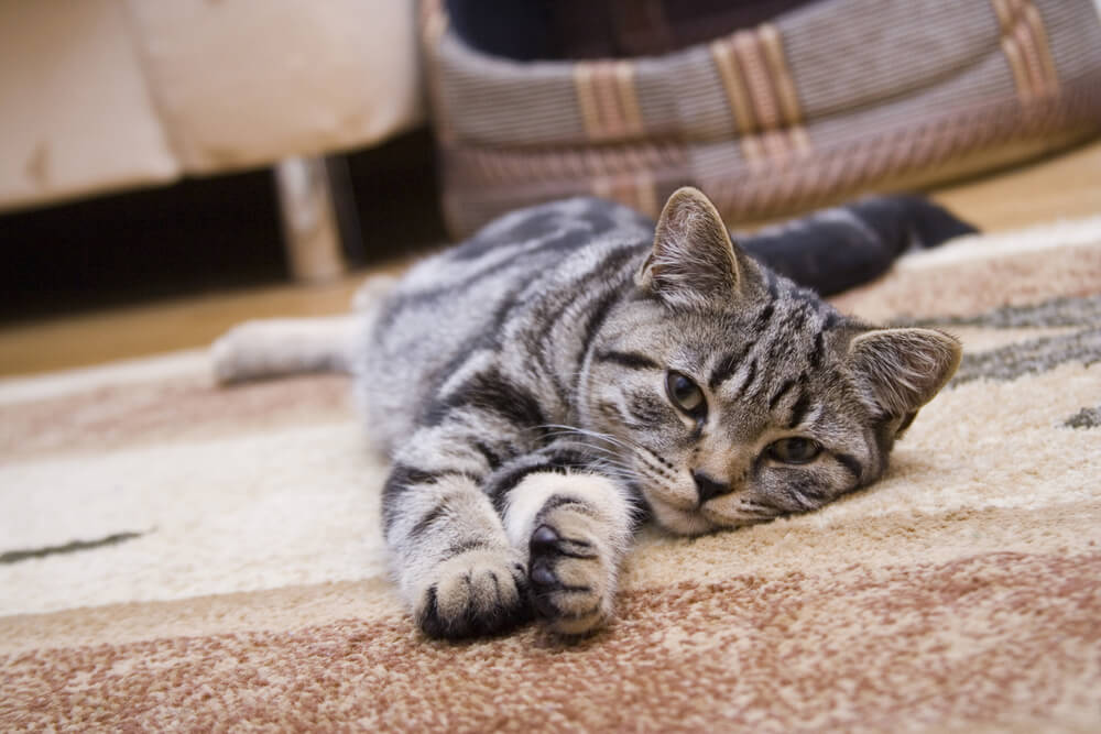 cat lying on a rug