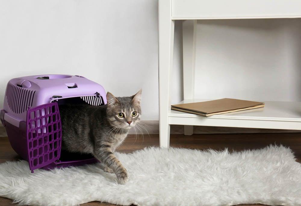 Katze kommt aus Transportbox