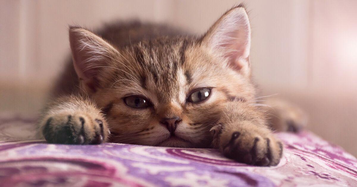 Feliway Cómo dar la bienvenida a gatito