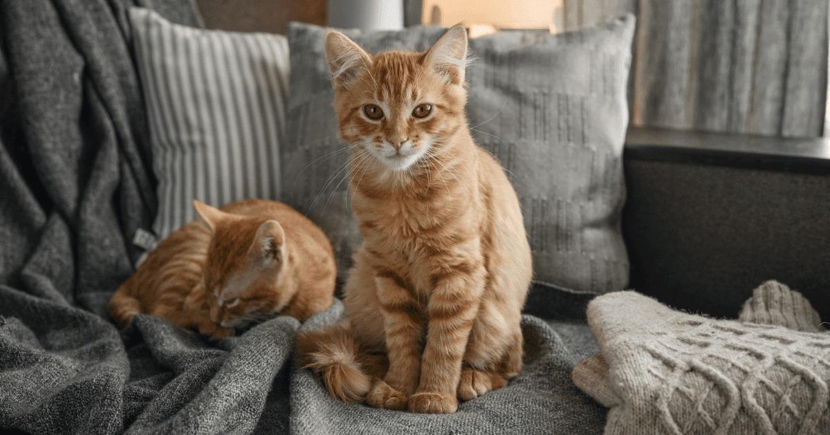 Två katter som trivs tillsammans