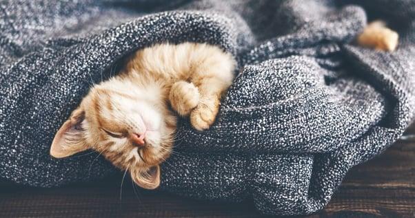 cute ginger kitten in blanket