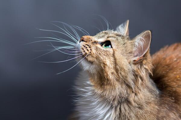 how do cats whiskers work?