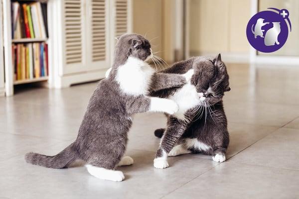 cats fighting FELIWAY Optimum
