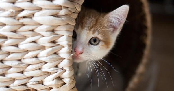 Aiutare il gattino a rimanere calmo durante i fuochi d'artificio