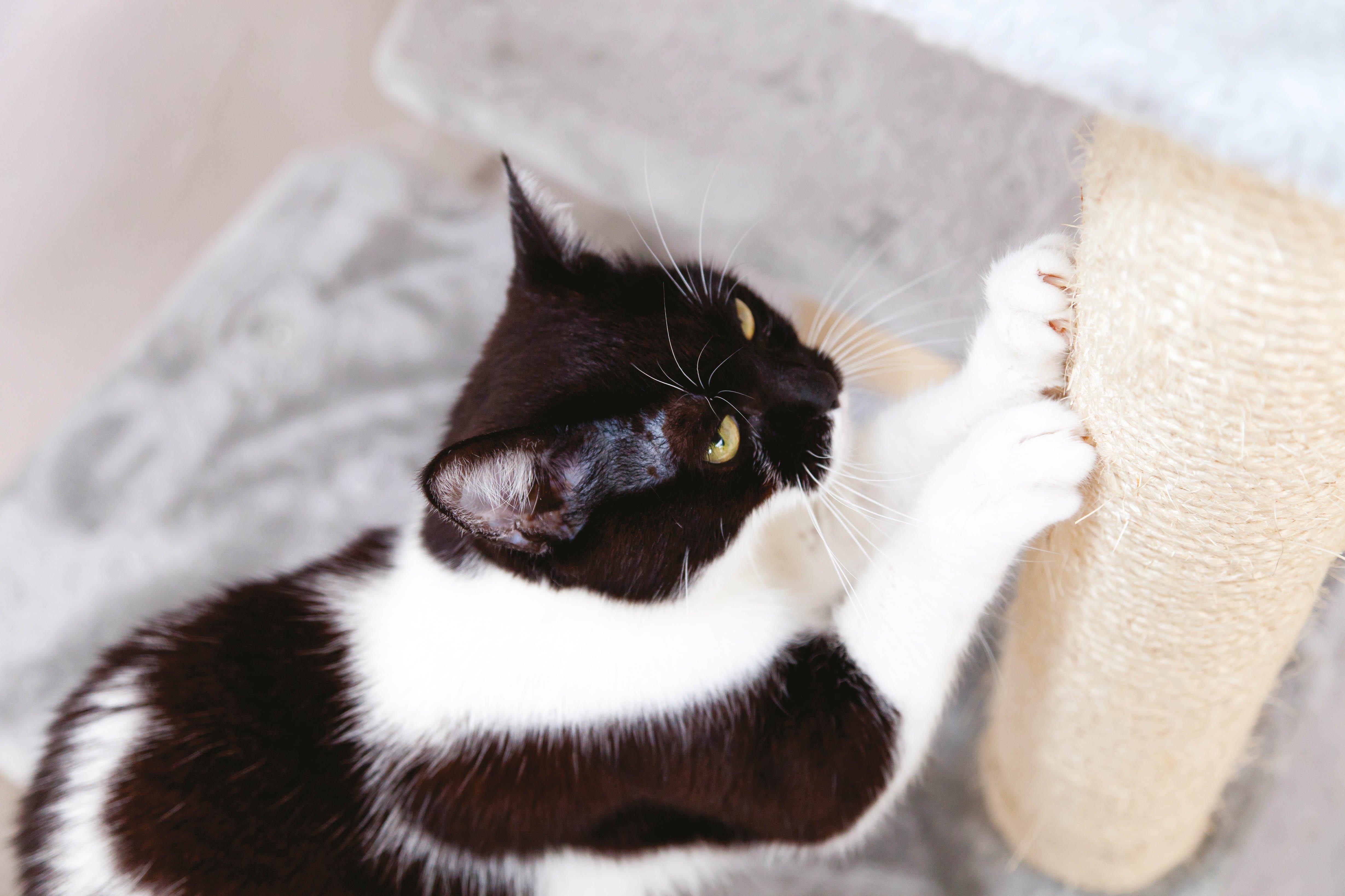 Katze kratzt an Kratzbaum