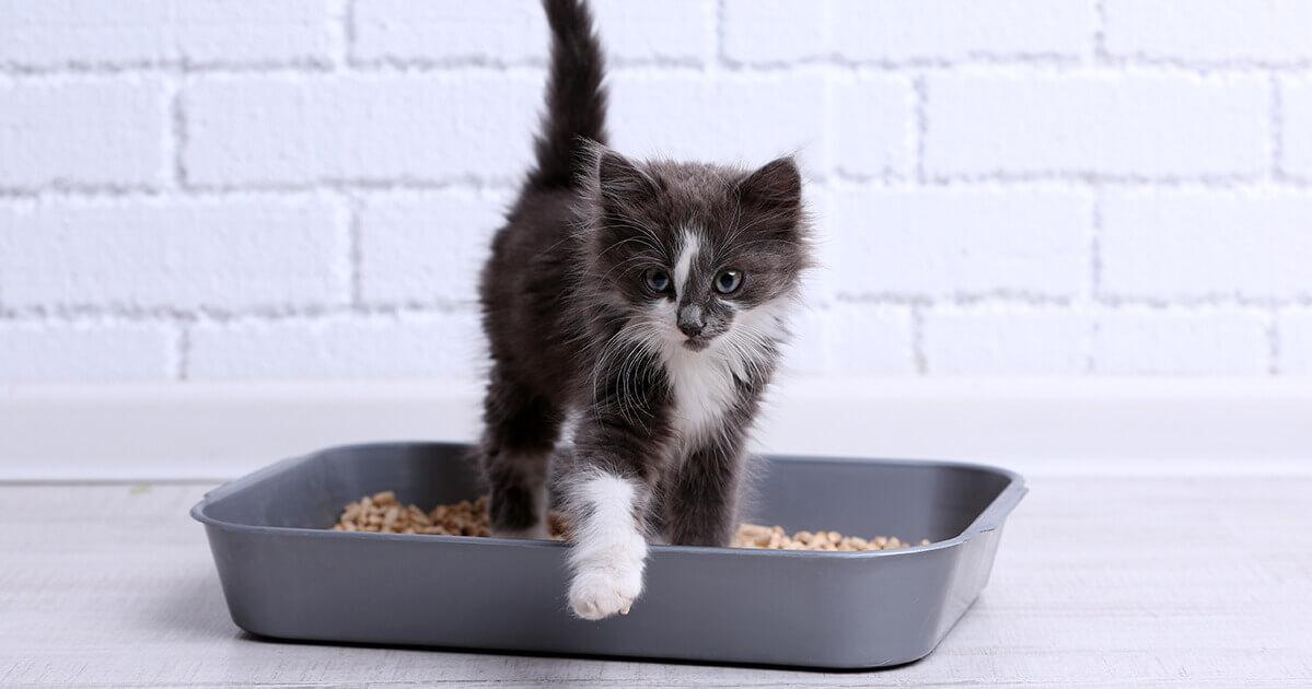 How to litter train a kitten_1