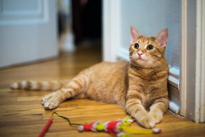 Older cat with cat toy
