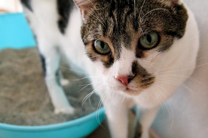 Older cat inspecting cat litter box