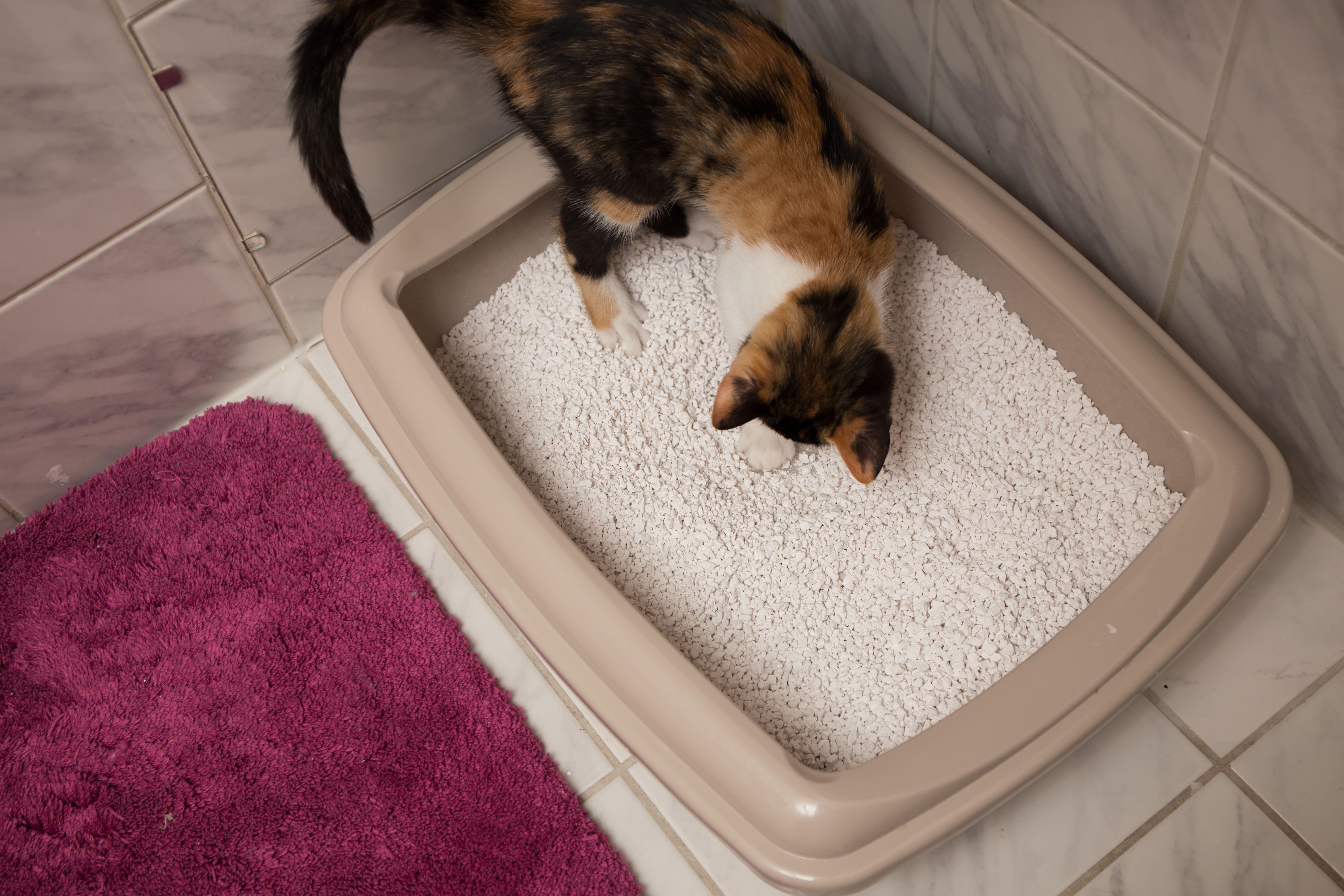 Katze testet auf Katentoilette Streu