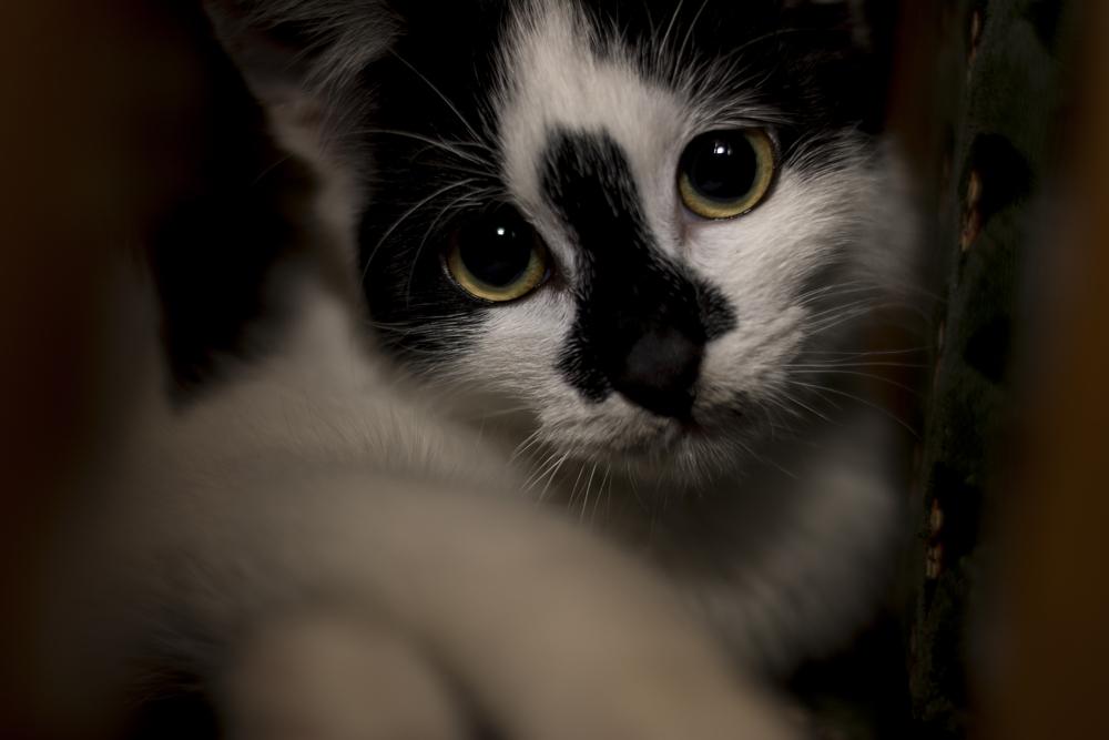 Por qué mi gato maulla 02