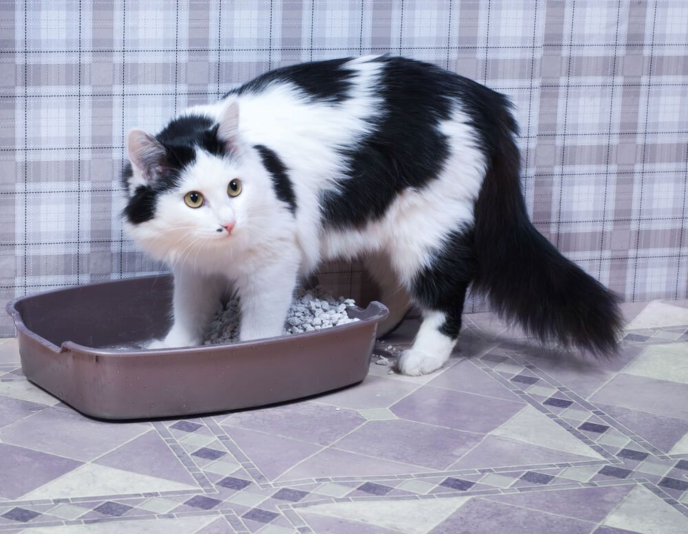 Razones por las que tu gato orina en casa 2