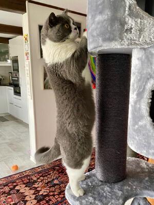 Ett klösträd är som ett gym för sin katt