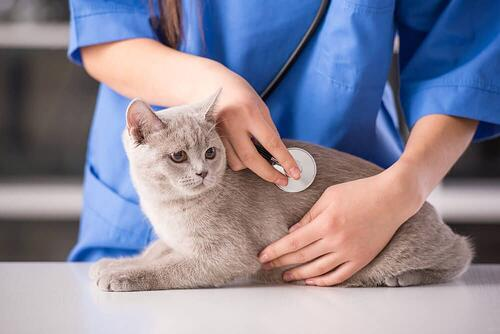 vet checking a grey cat