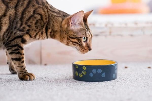 Un chat hésite à manger dans sa gamelle