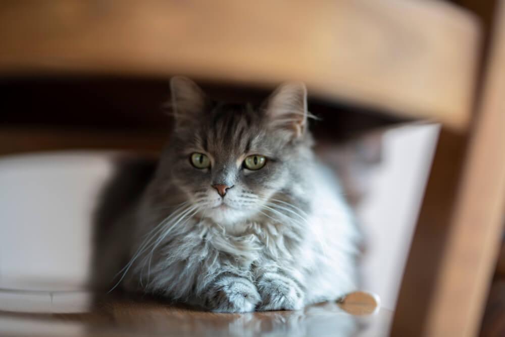 ne forcez jamais votre chat à quitter sa cachette