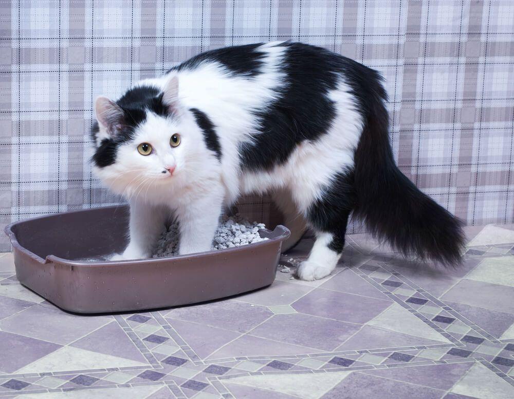 chat stressé entre dans sa litière
