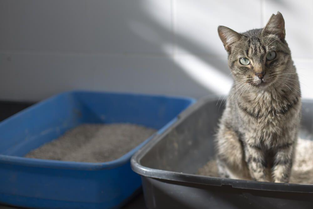 chat assis dans sa litière