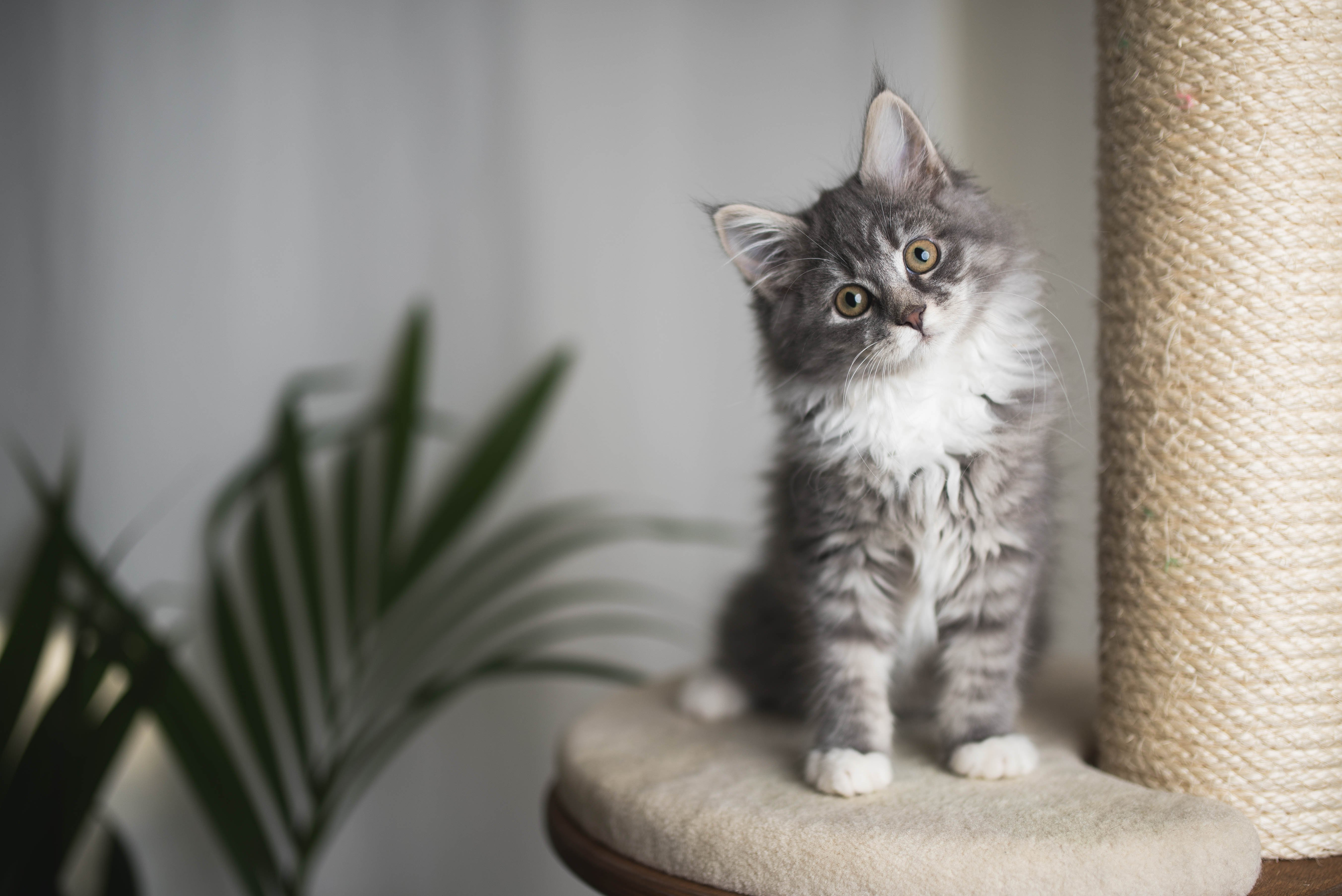 Kitten auf Kratzbaum