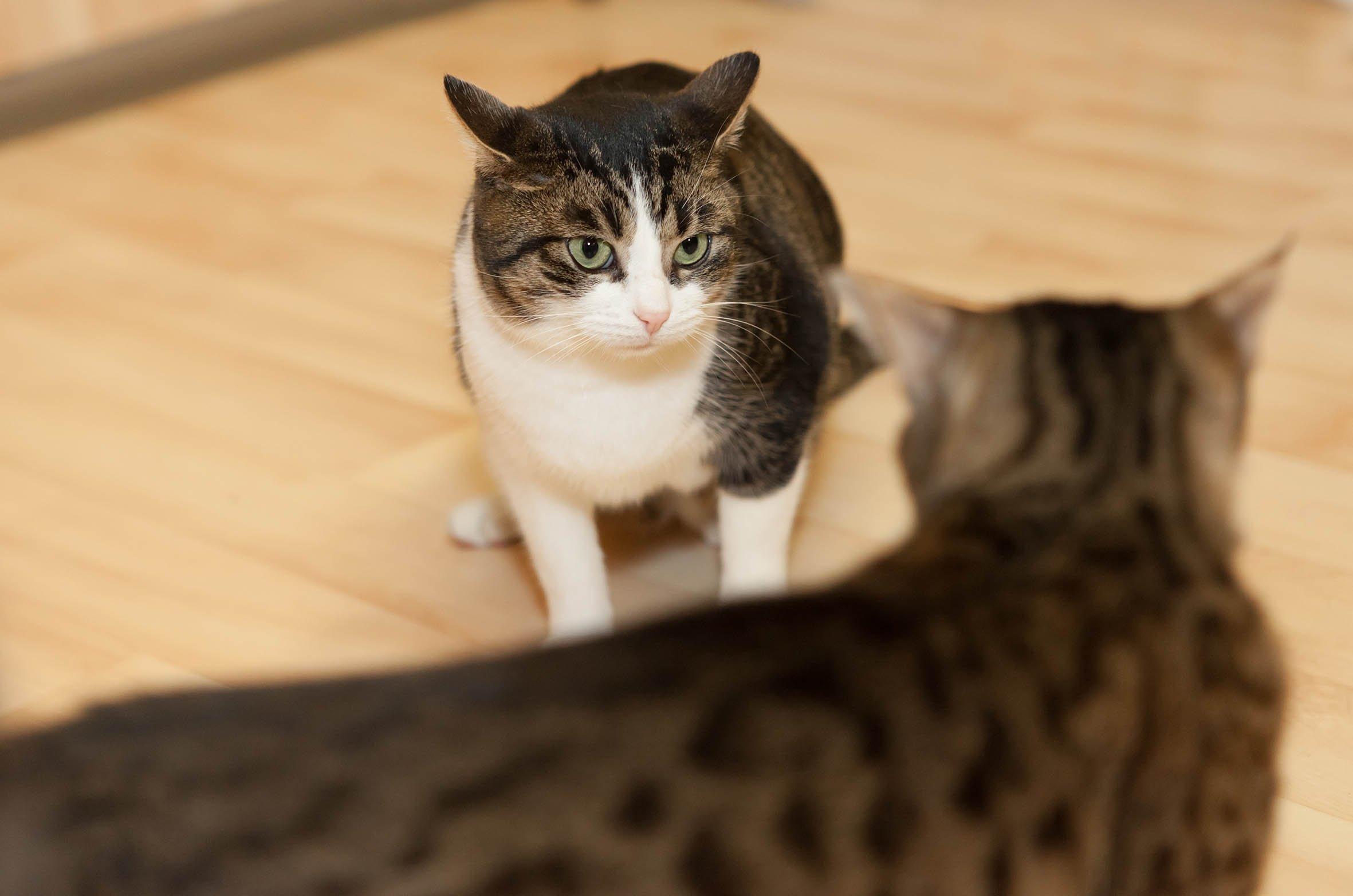 Streit zwischen Katzen