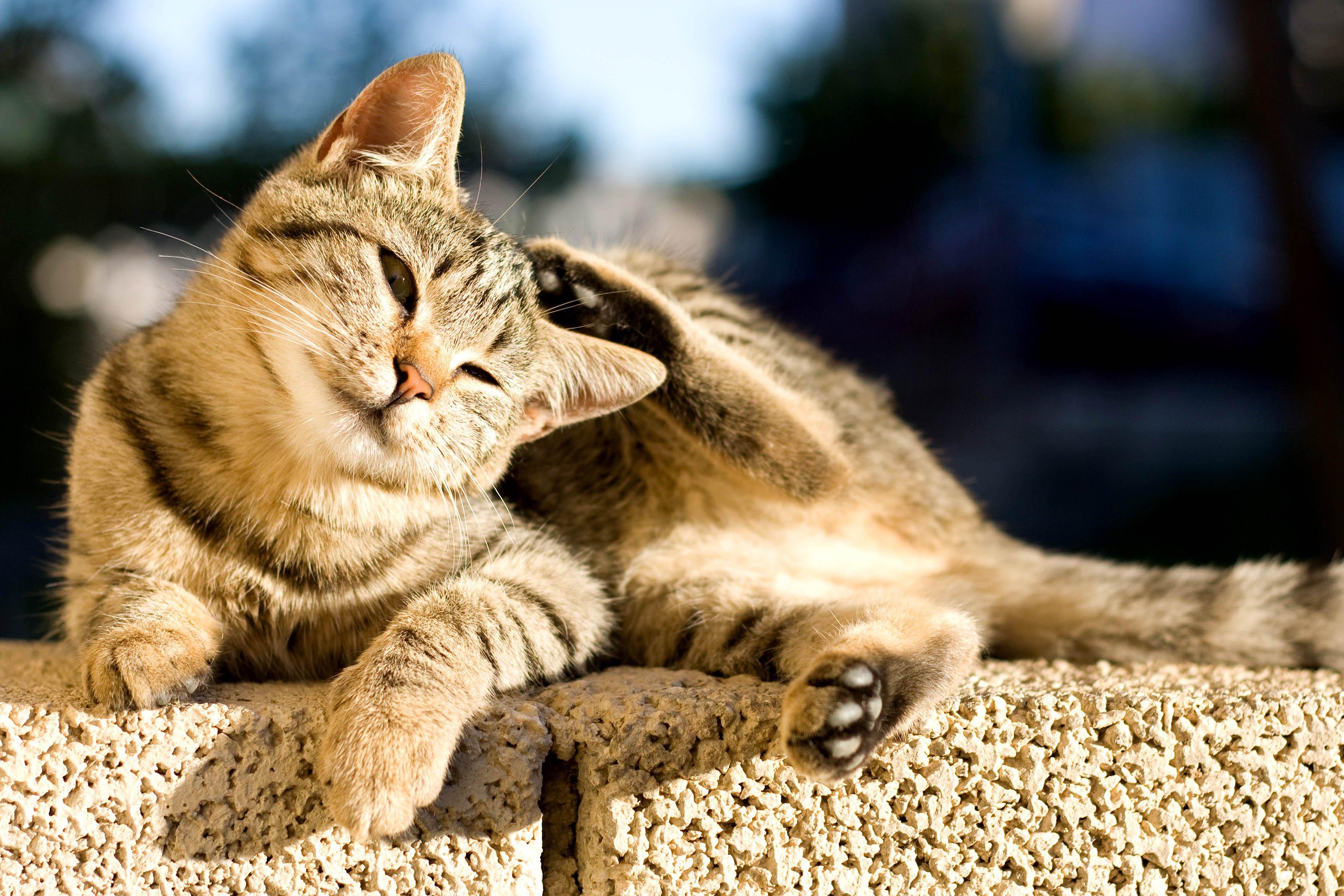 Sonnenbrand bei Katzen kann stark jucken
