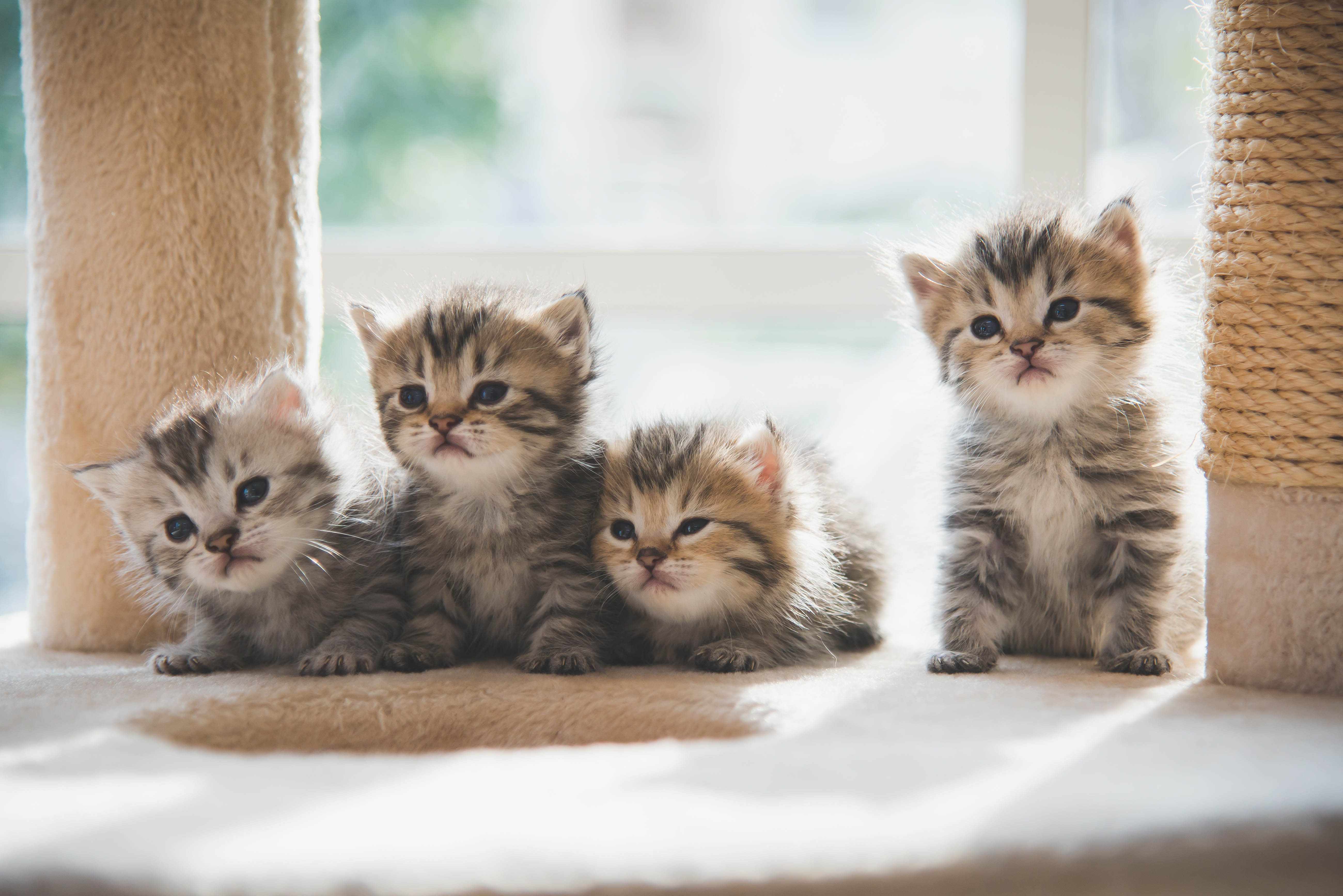 Vier Katzenbabys auf Kratzbaum