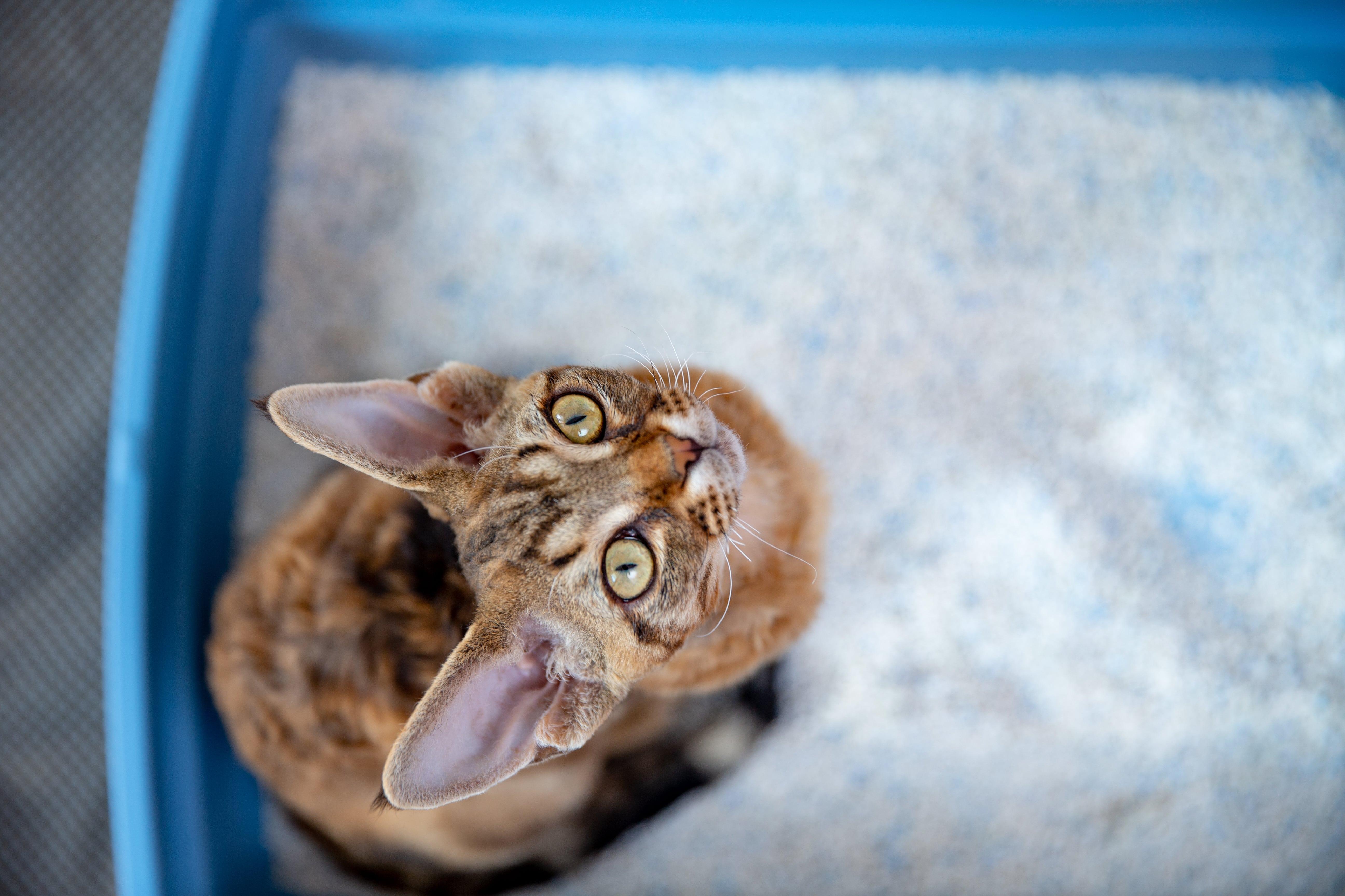 Katze sitzt in Katzentoilette und schaut nach oben