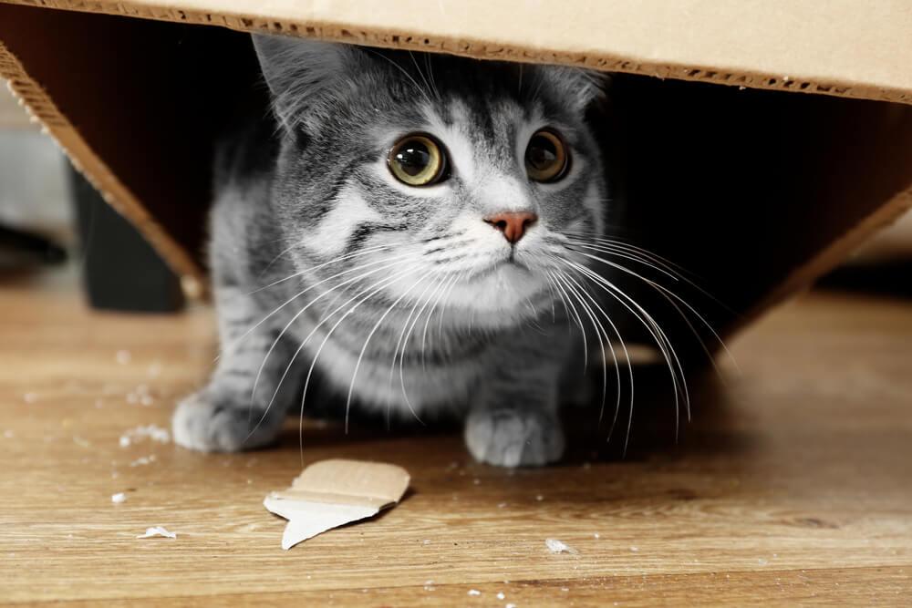 Katze versteckt sich in Karton