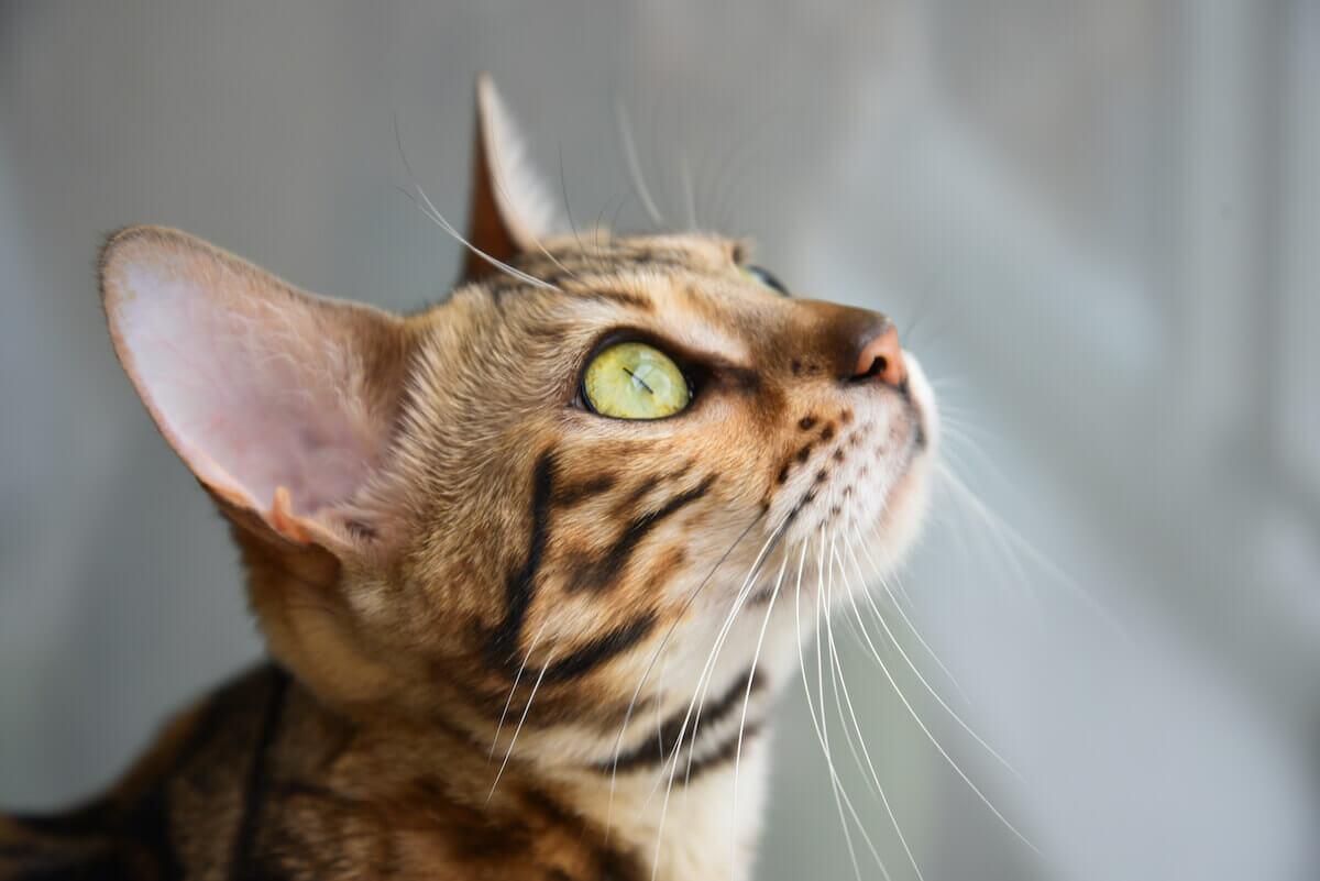 Katze mit Schnurrhaaren um die Augen