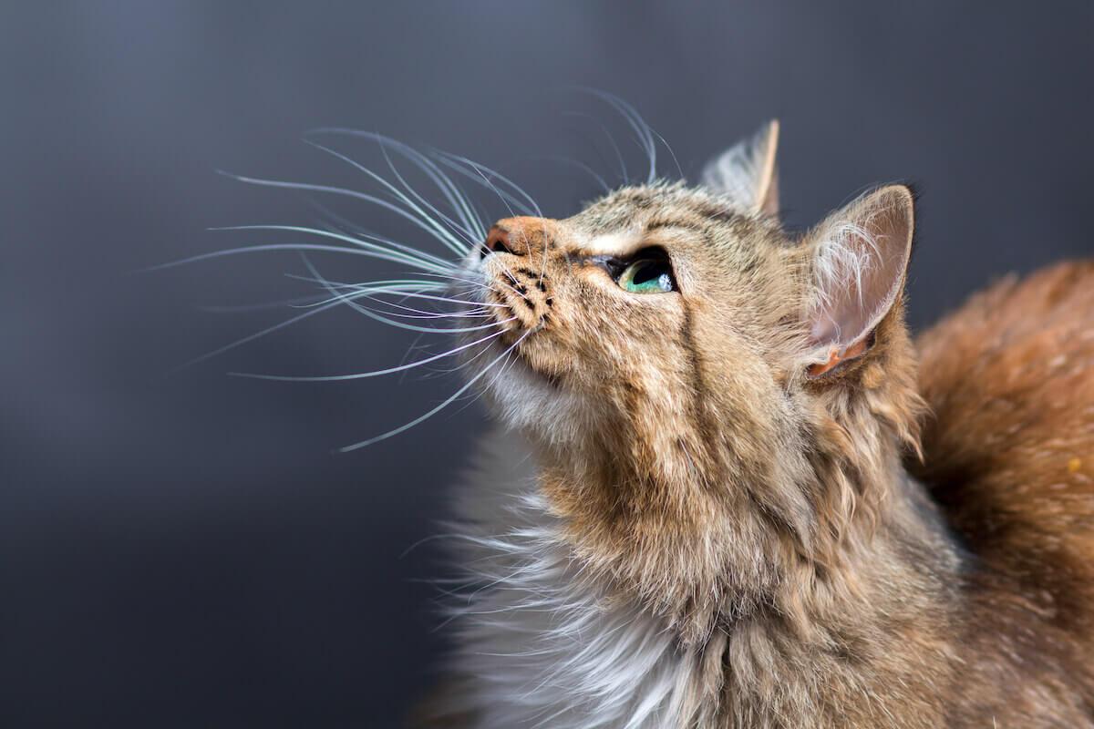 Katze mit Schnurrhaaren an Nase und Wangen