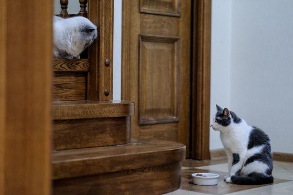 tensión entre gatos comida feliway