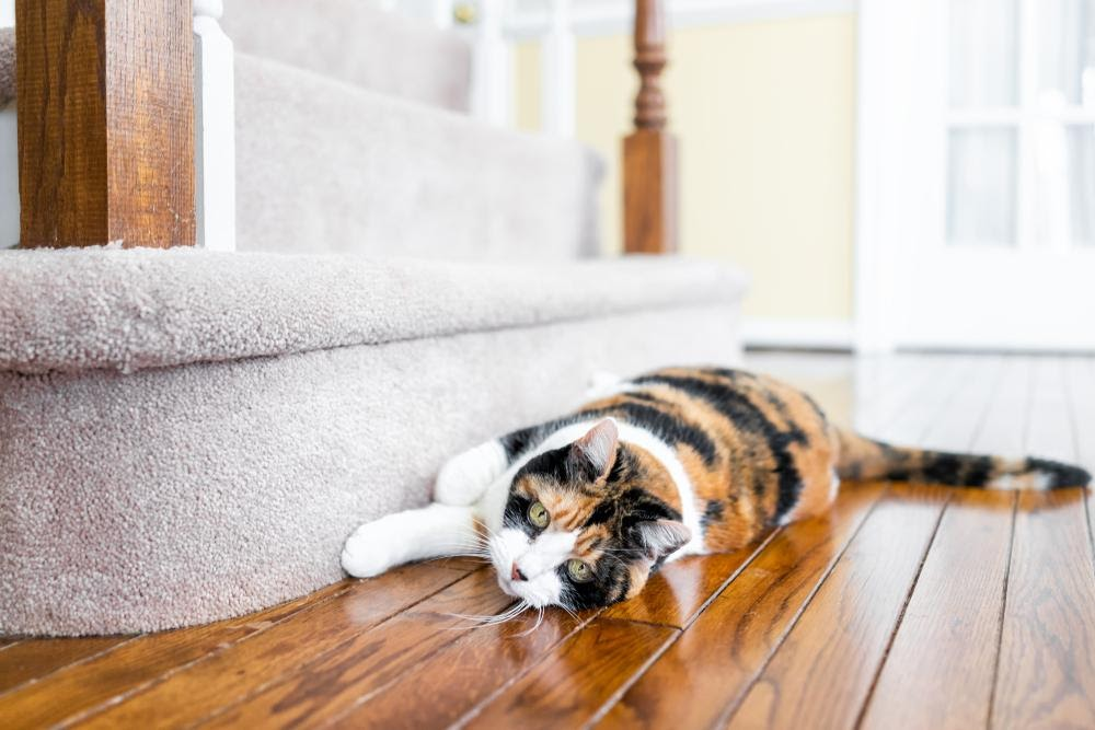 cat scratching carpet on stairs