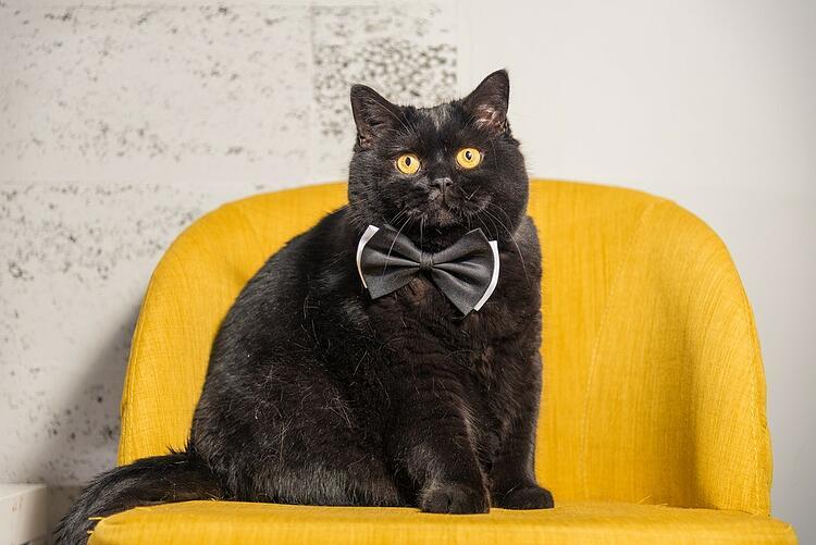 gros chat noir avec un nœud papillon