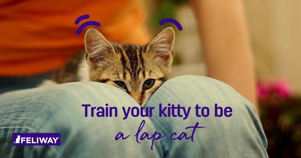 FELIWAY _ January 2020 _ How To Train Your Kitten to be a Lap Cat -9 Tips-2