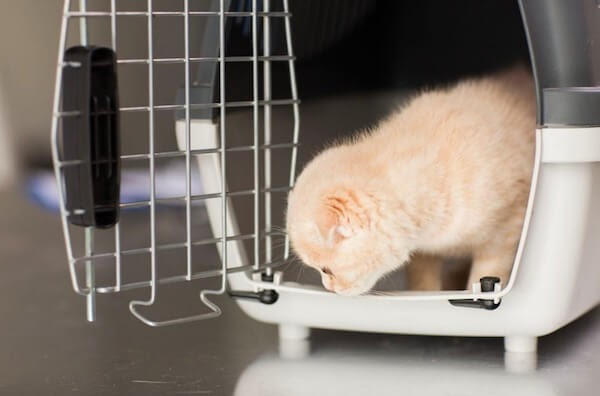 Cat getting out of a carrier