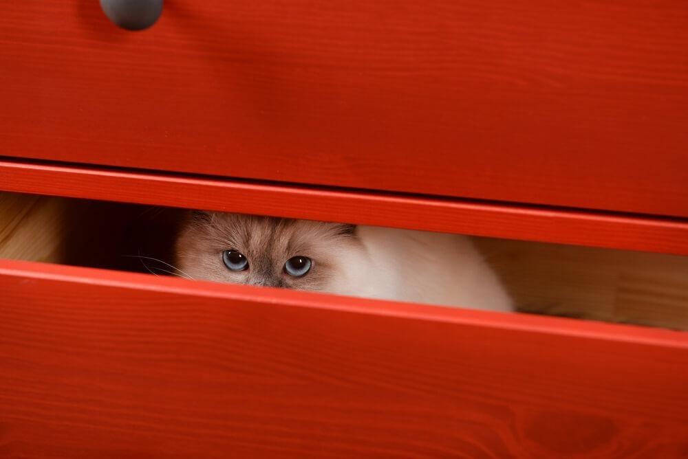 Gatinho escondido