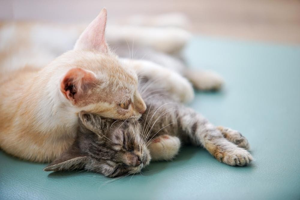 cats napping together