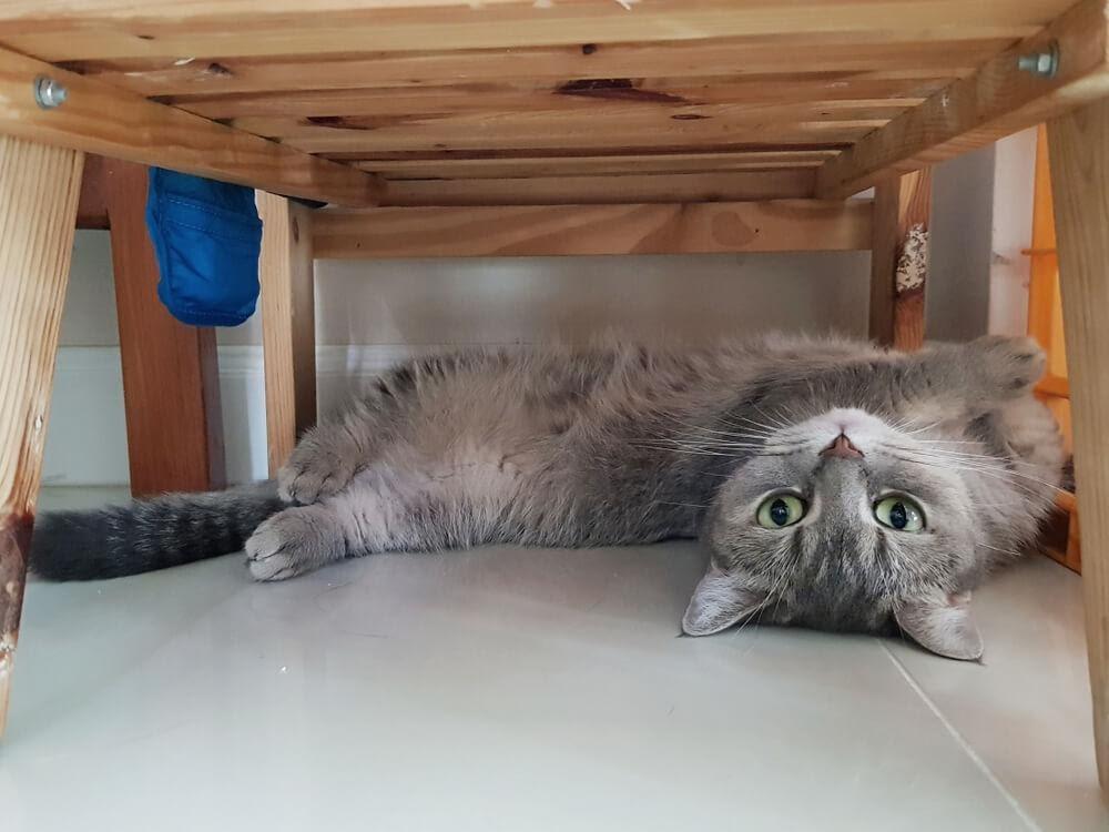 gato cinza se escondendo de outro gato