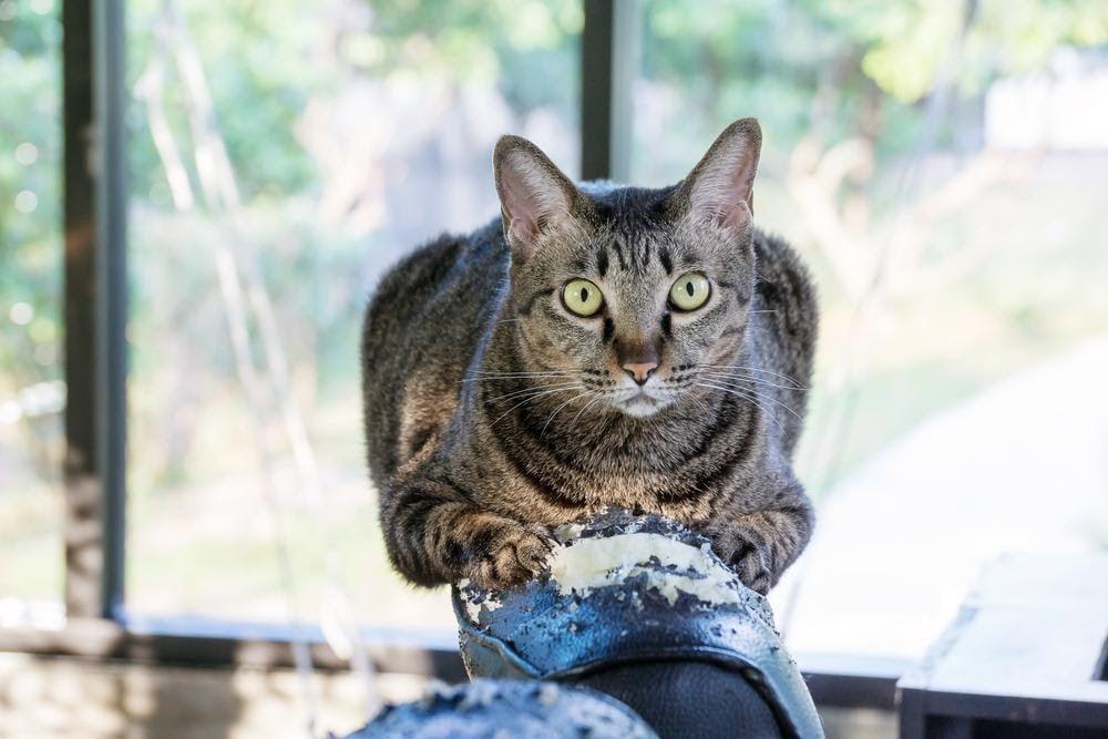 Gato cinza arranhando o sofá preto